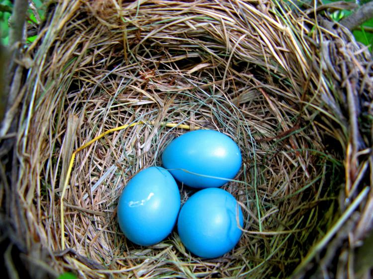 3 blue eggs