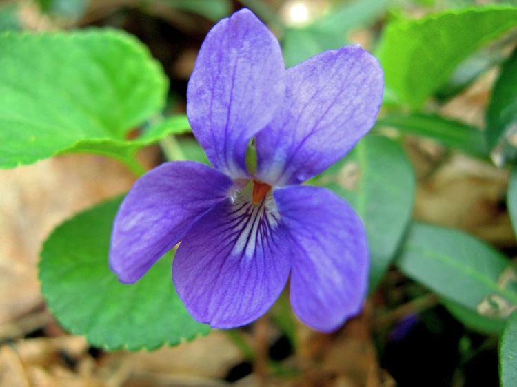 Fairy violet 2 _edited-1