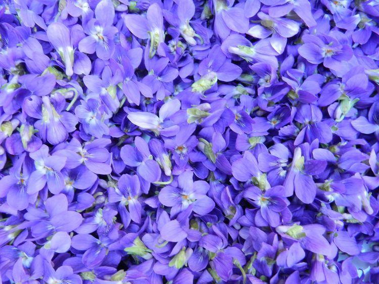 6violets 019