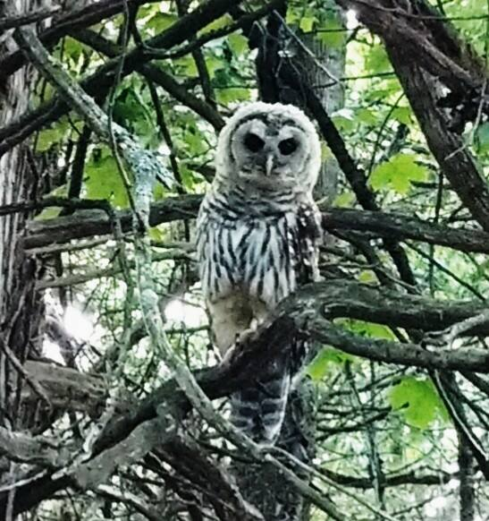 Barred owl1