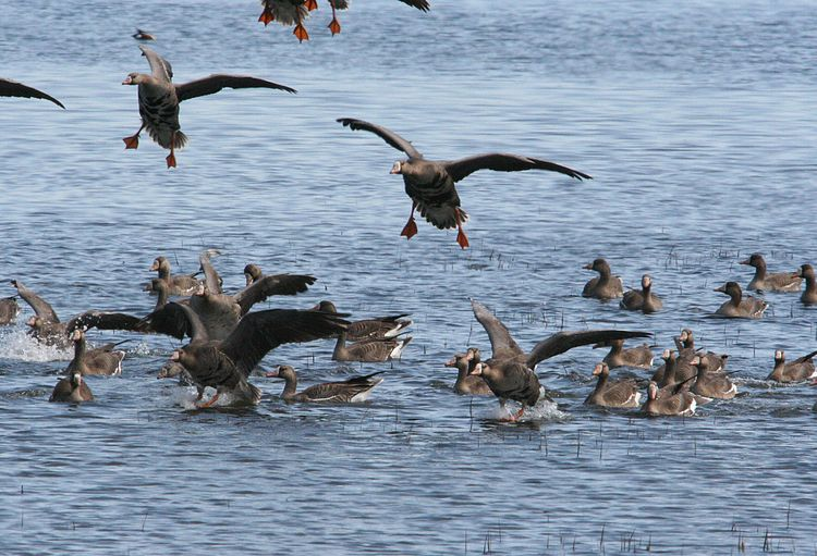 White_fronted_geese_in_water