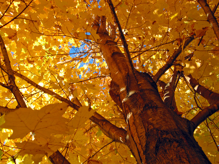 Golden_canopy_2