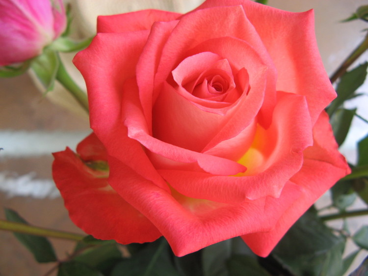 Rose_peach