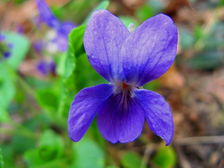 Fairy_violet