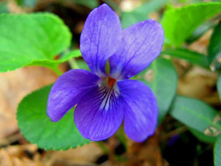 Fairy_violet_2