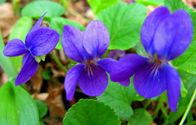 Fairy_violet_trio_2